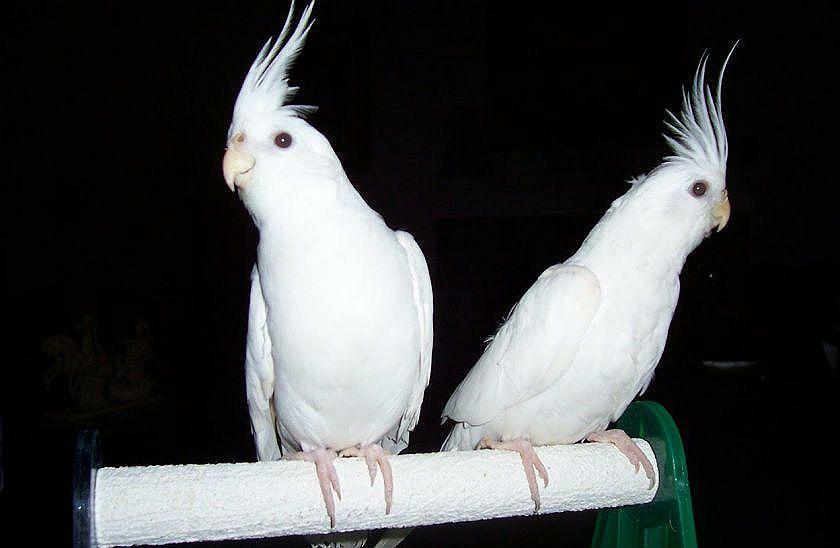 Корелла альбинос