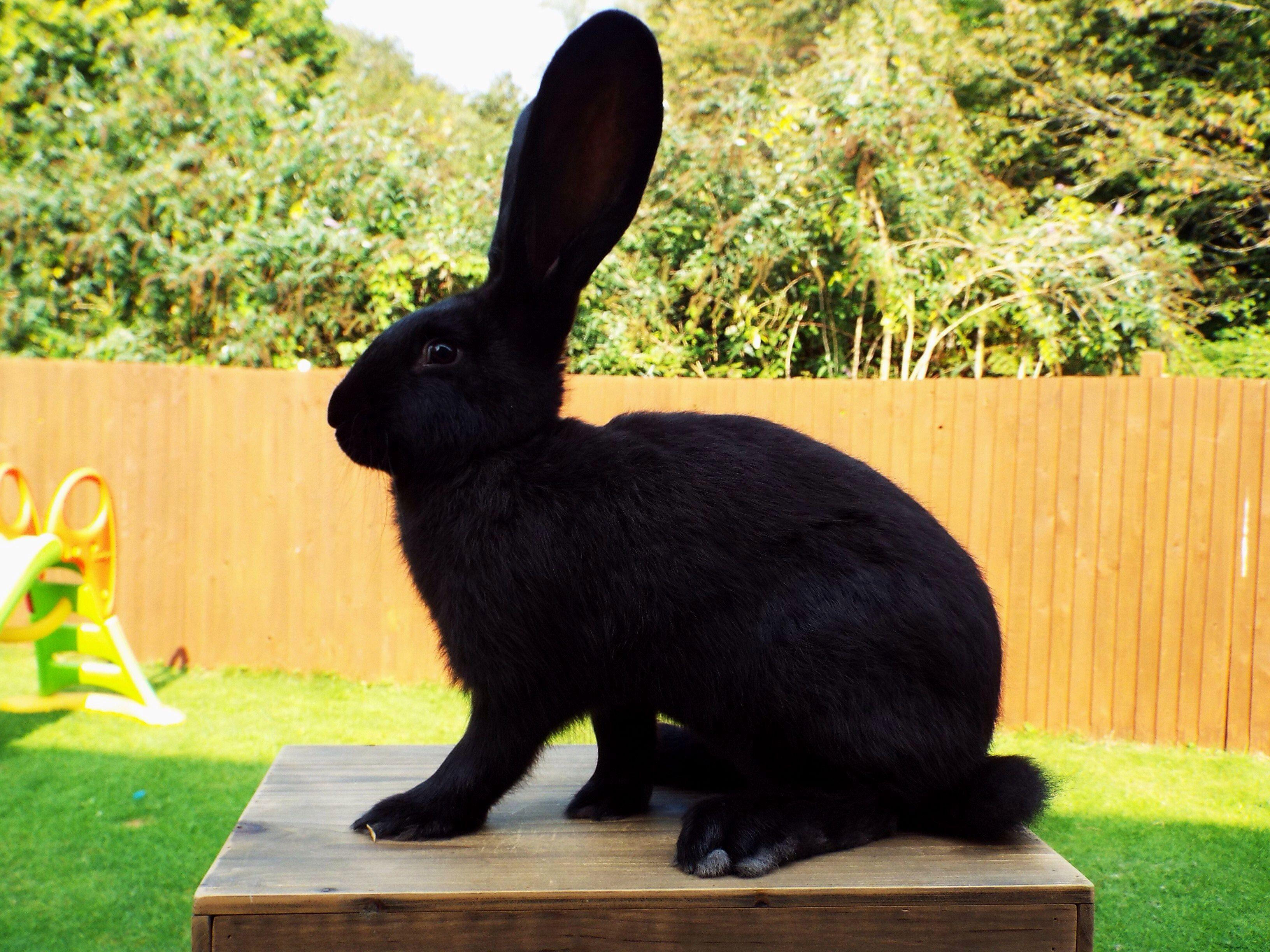 Кролик черный великан