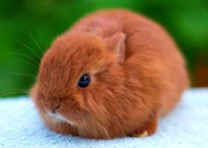 Кролик карликовая лиса