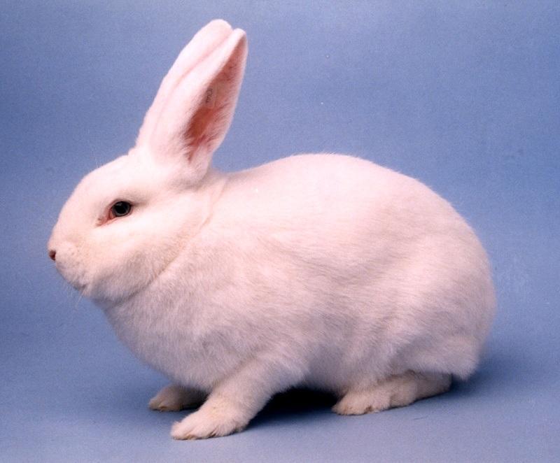 Кролик венский белый-1