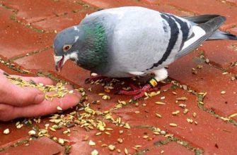 Крупы для голубей - главное фото