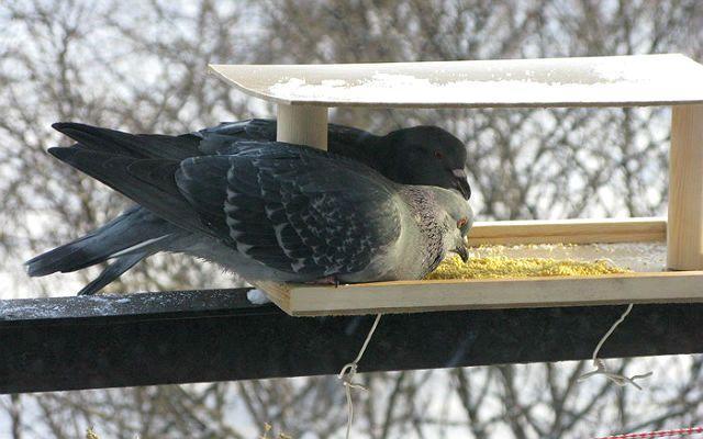Кормление голубей крупой