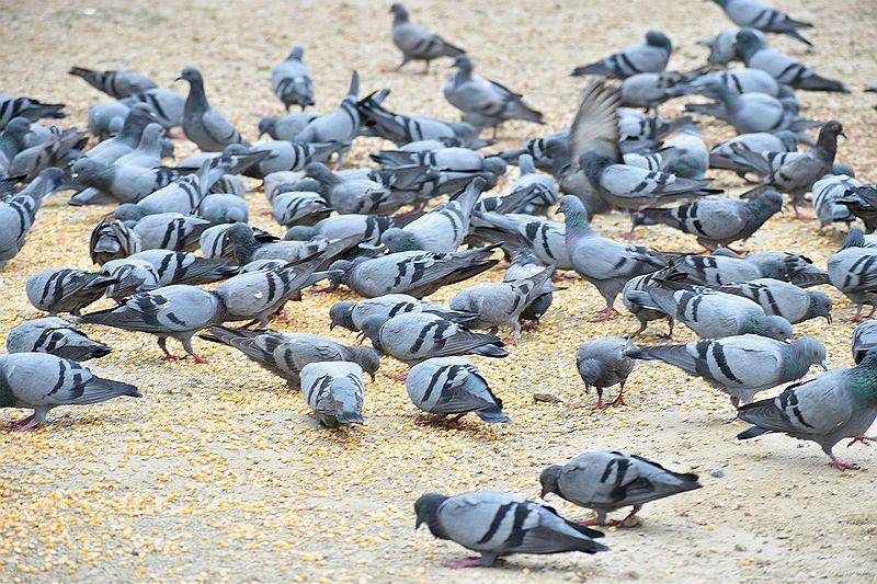 Какую крупу едят голуби
