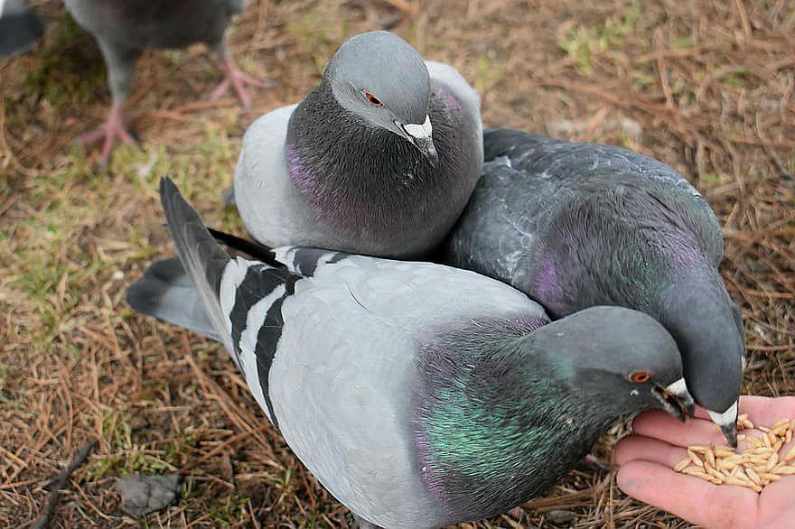 Ячмень для голубей