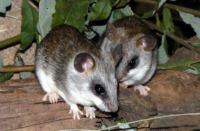 Крысы акациевая