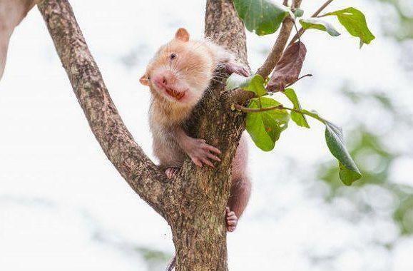 Крыса бамбуковая (1)