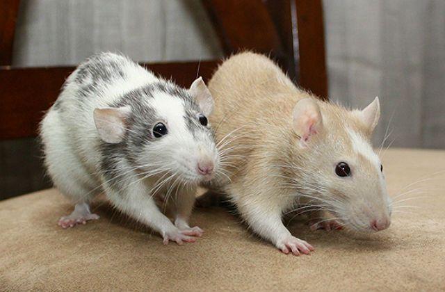 Крысы-девочки