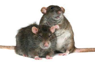Крысу какого пола лучше завести