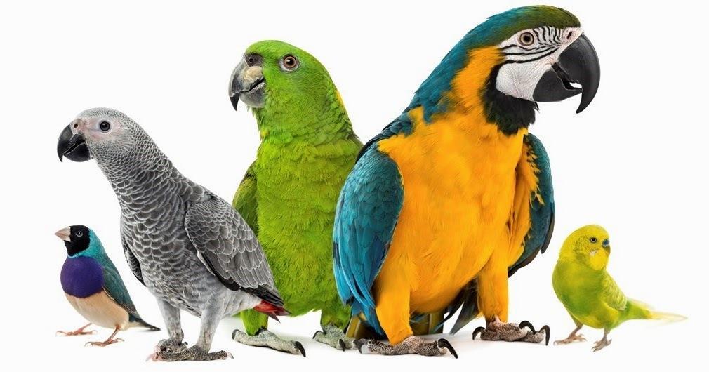 Лучшие породы домашних попугаев