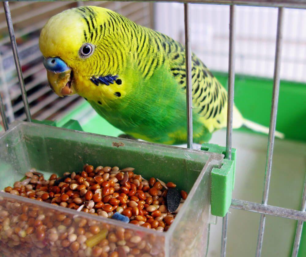 Кормление маленьких попугайчиков