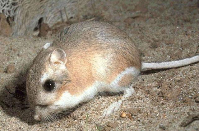Мешотчатая крыса (1)