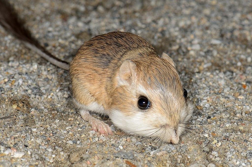 Мешковатая крыса