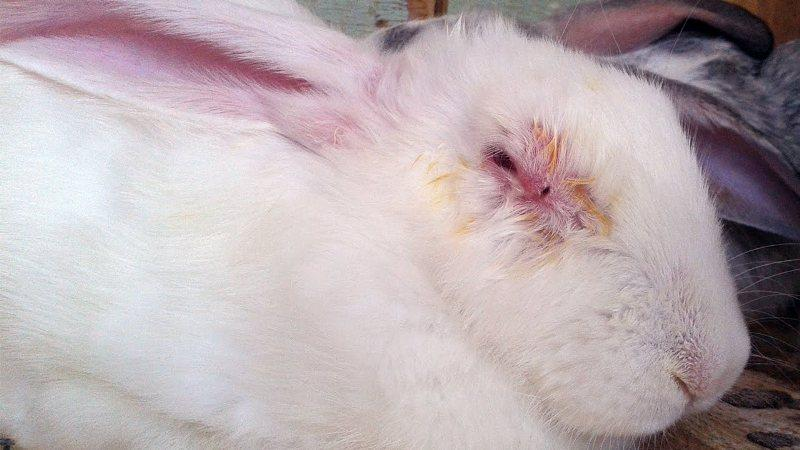 Микоплазмоз у кролика - симптомы