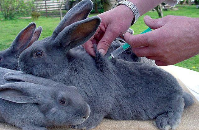 Микоплазмоз у кролика - лечение