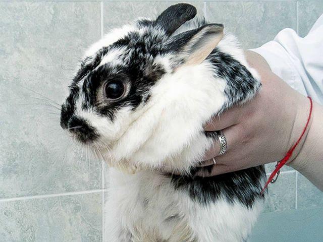 Микоплазмоз у кролика - диагностика