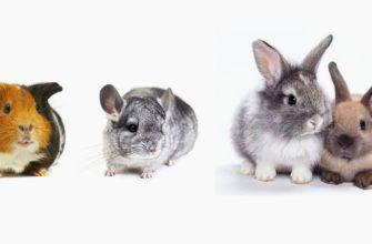 Морская свинка, кролик или шиншилла - кого выбрать