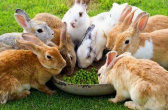Можно ли давать горох кроликам - главное фото