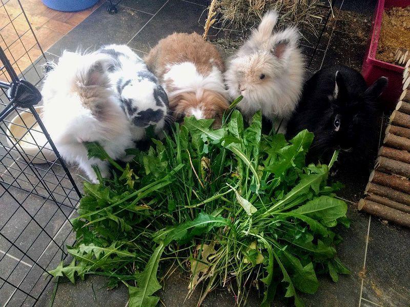 Люцерна для кроликов