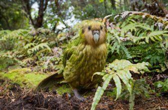 Нелетающий попугай какапо - главное фото