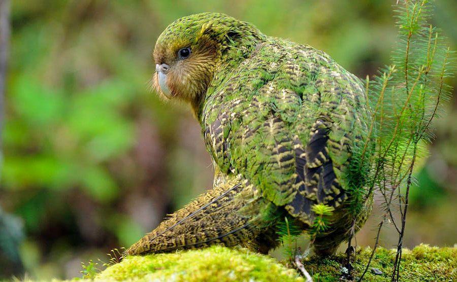 Нелетающий попугай какапо - вид сзади