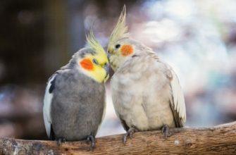 Окрасы попугая корелла - главное фото
