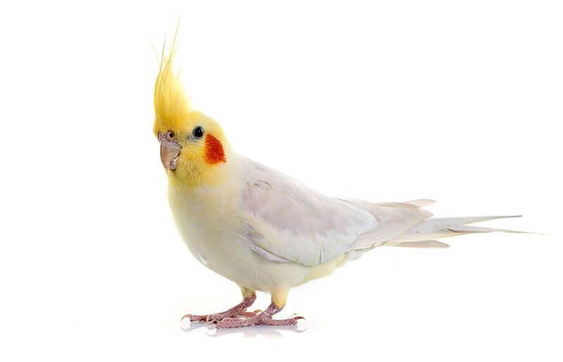 Белый попугай корелла