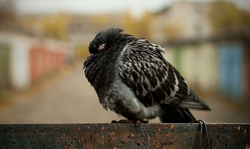Орнитоз у голубей - главное фото
