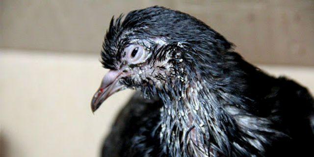 Орнитоз у голубей - симптомы