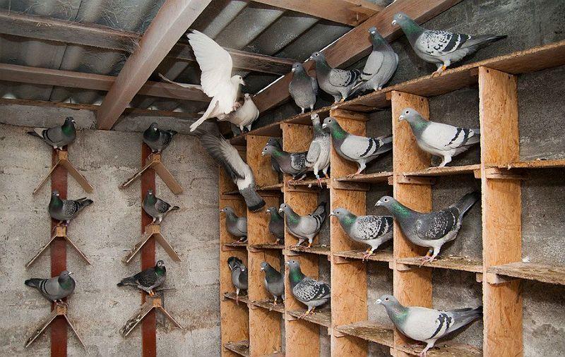 Орнитоз у голубей - профилактика и лечение