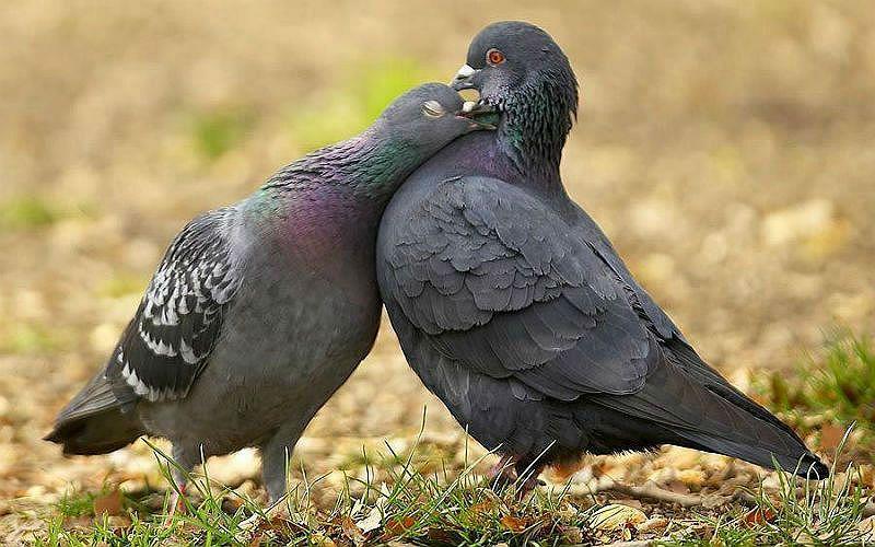 Отличия голубя от голубки