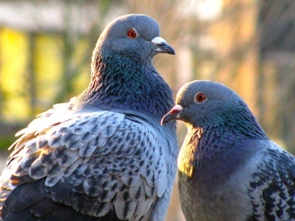 Голубь и голубка - голова и клюв