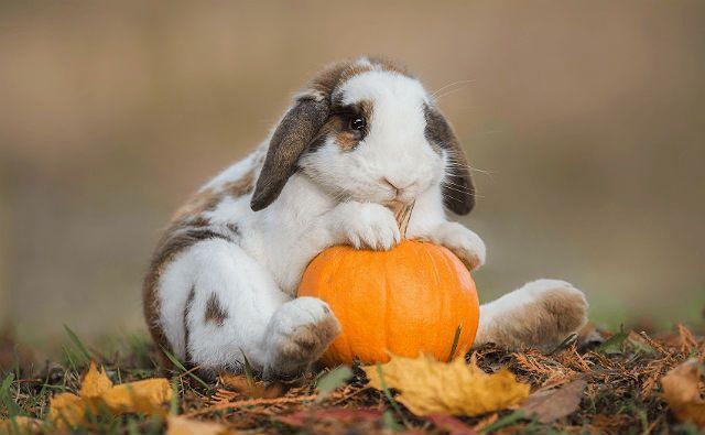 Тыква в рационе кролика
