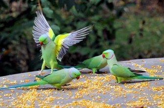 Ожереловый попугай - главное фото