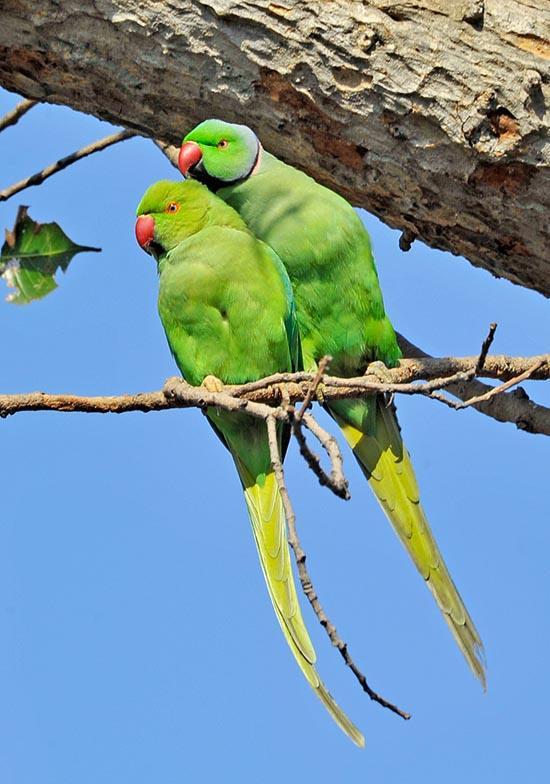 Ожереловый попугай - внешний вид