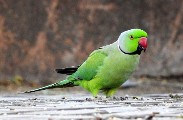 Красноклювый ожереловый попугай
