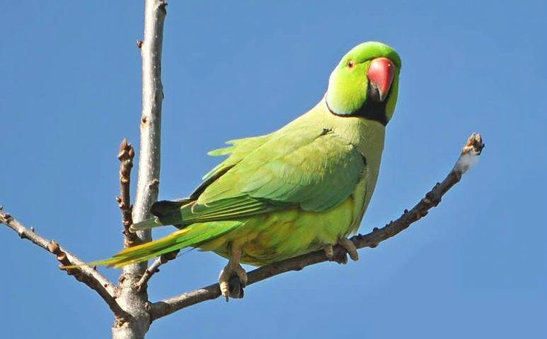 Ожереловый попугай на ветке