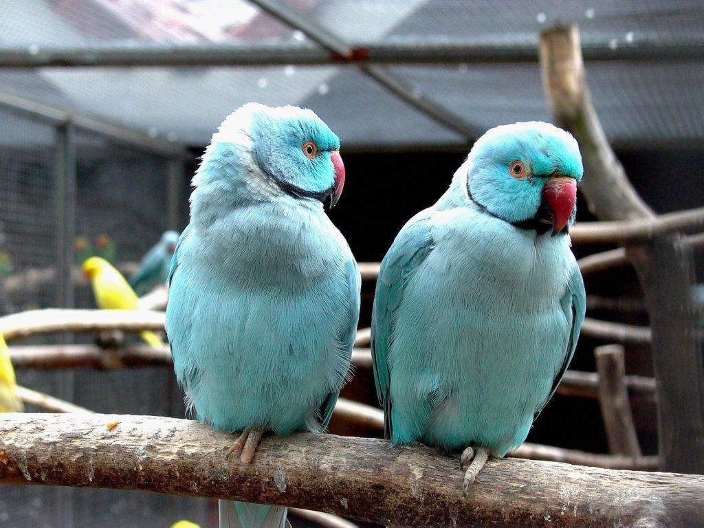 Ожереловый попугай - голубой