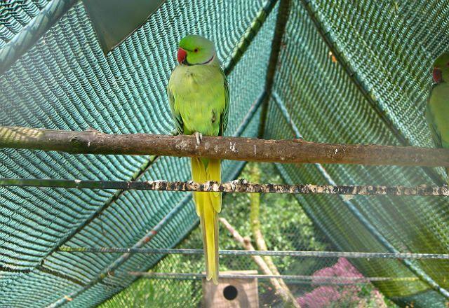 Ожереловый попугай - содержание