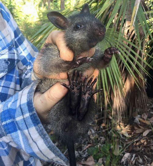 пальмовая крыса