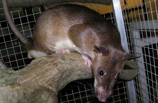 Крыса пальмовая