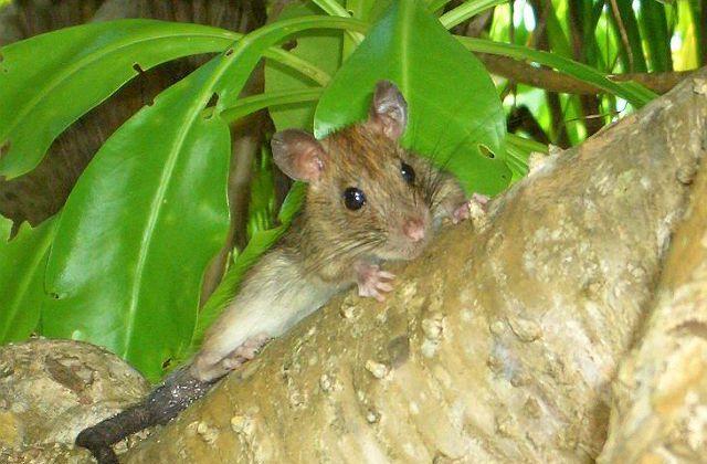 Пальмовая крыса (3)