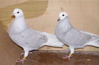 Голуби породы пермские
