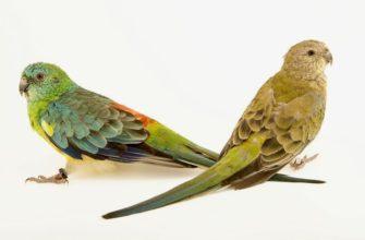 Певчий попугай - главное фото