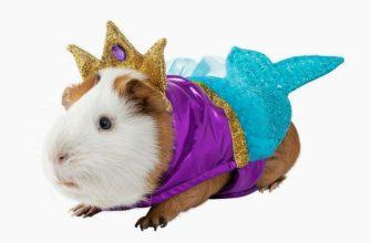 Почему свинка морская - главное фото