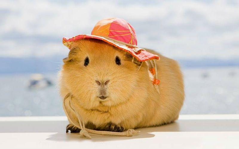 Свинка - морская