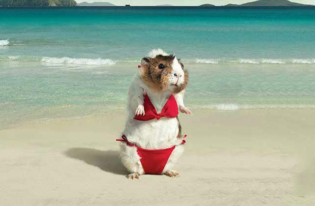 Морская свинка на пляже
