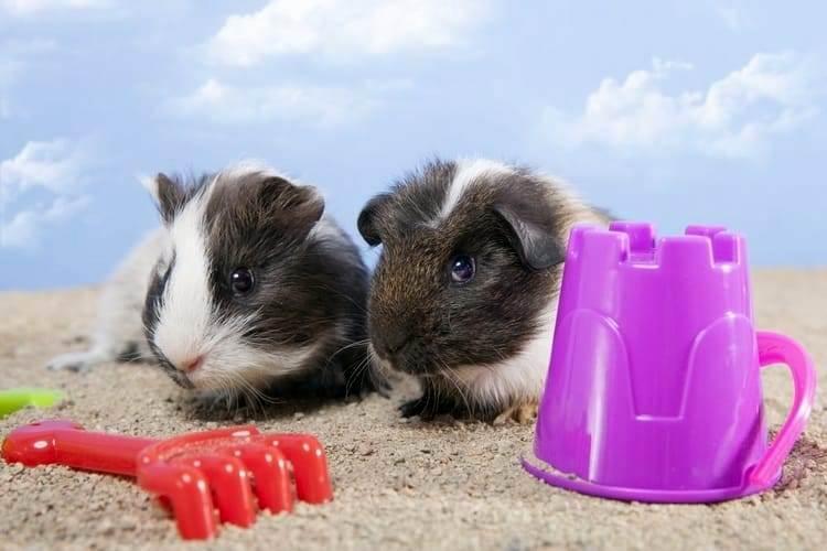 Морские свинки на песке