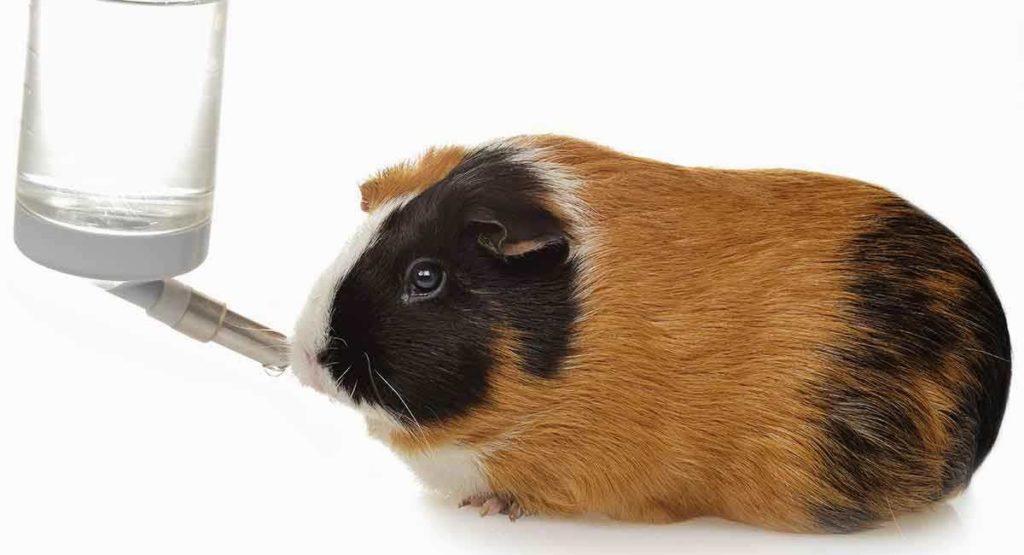 Как приучить морскую свинку к поилке