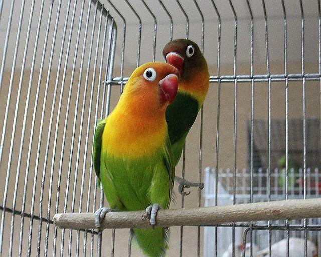 Попугаи Фишера в клетке