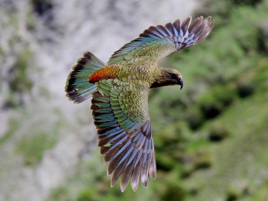 Попугай кеа - внешний вид